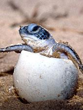 Leatherback turtle hatching Copyright WWF-Canon/Roger LeGUEN