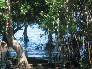 Healthy mangroves