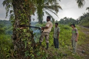 Removing oil palms. Photo courtesy of the Goldman Environmental Prize